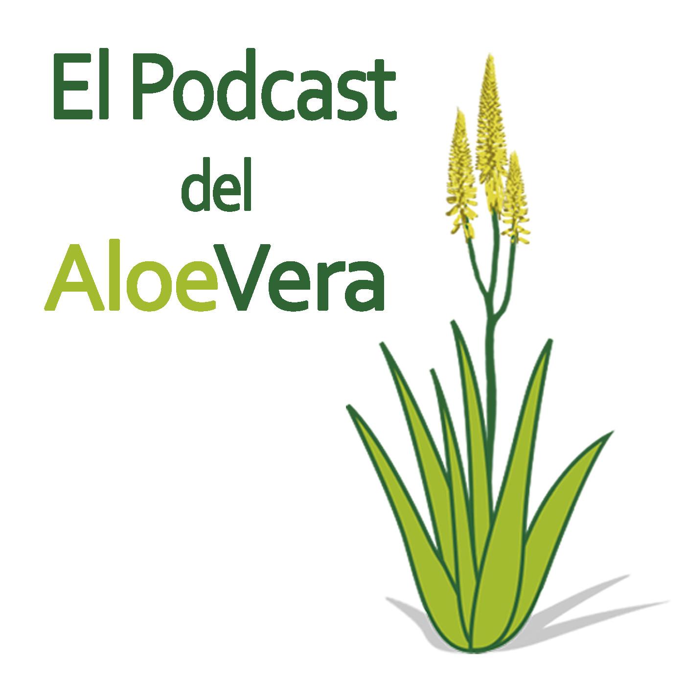 14 c mo reconocer una planta de aloe vera en el podcast del aloe vera en mp3 08 02 a las 07 50 - Como cuidar la planta de aloe vera ...
